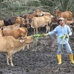 Begini Caranya Memulai Usaha Ternak Sapi Dengan Mudah