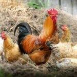 Cara Pemeliharaan Ternak Ayam Kampung Sebagai Pendapatan Sampingan Yang Menguntungkan