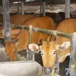 Untung Berlipat Dengan Sistem Ternak Sapi Modern Ala Hendra