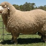 Kunci Memilih Indukan Domba Berkualitas Untuk Diternak Petani