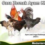 Panduan Cara Ternak Ayam KUB Agar Cepat Panen dan Sukses