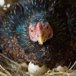 Inilah Penyebab Produksi Telur Ayam Menurun Drastis