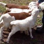 4 Hal Penting Dalam Memberi Makan Anak Domba atau Cempe Yang Baru Lahir