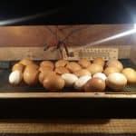 Penyebab Kegagalan Penetasan & Mengatasi Masalah Dalam Menggunakan Mesin Penetas Telur